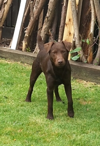 CHOCOLATE  PATTERDALE STUD DOG Listing Image Thumbnail