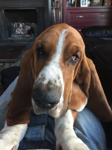 Beautiful bi color basset looking to stud Listing Image