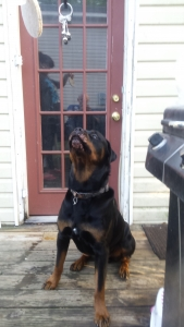 rottweiler Listing Image Thumbnail