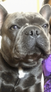 Handsome Akc French Bulldog Stud Listing Image