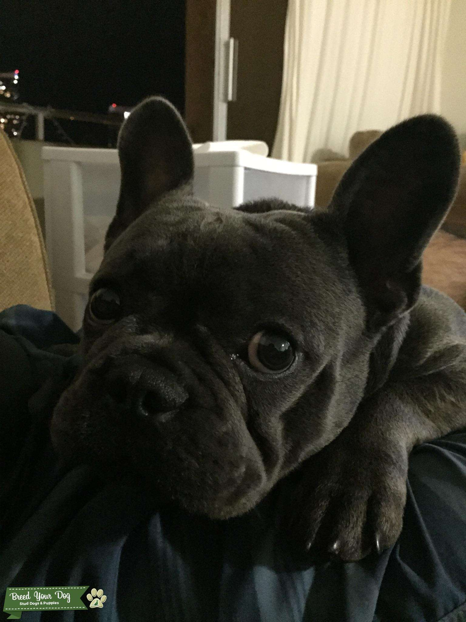 Handsome Akc French Bulldog Stud Listing Image Big