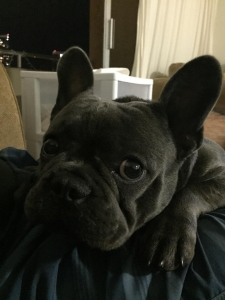 Handsome Akc French Bulldog Stud Listing Image Thumbnail