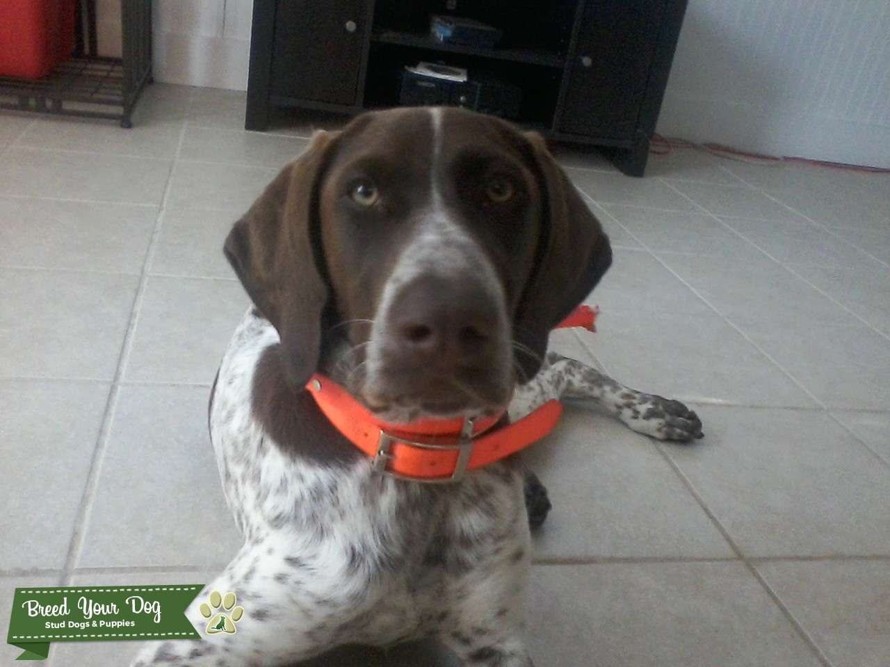 Stud Dog - Liver And White German Shorthaired Pointer ...