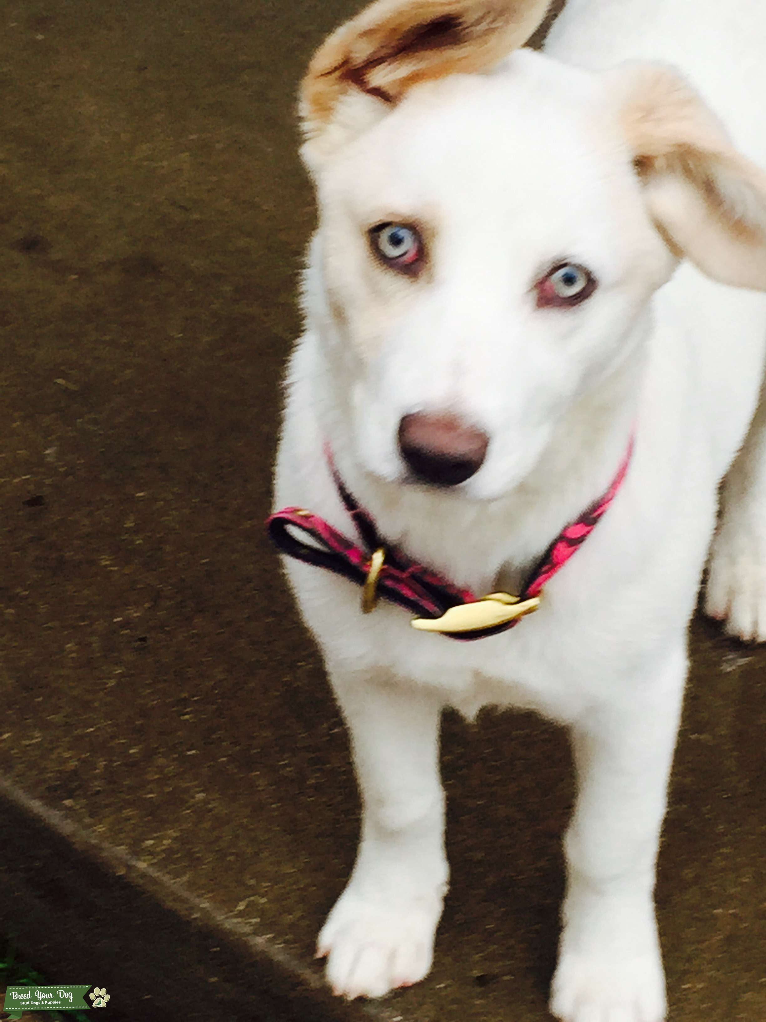Stud Dog - White Siberian husky with white blue eyes and