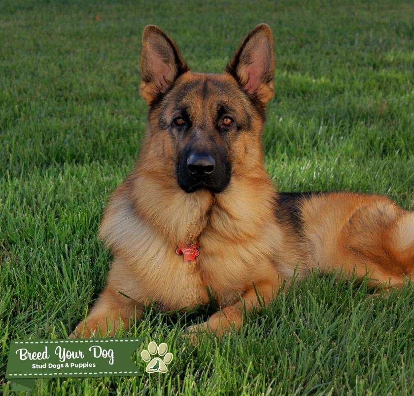 Pure bred Red and Black German Shepherd Dog Listing Image Big