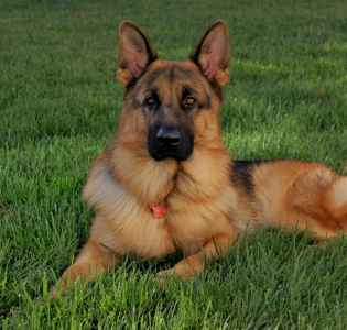 Pure bred Red and Black German Shepherd Dog Listing Image