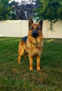 Pure bred Red and Black German Shepherd Dog Listing Image Thumbnail