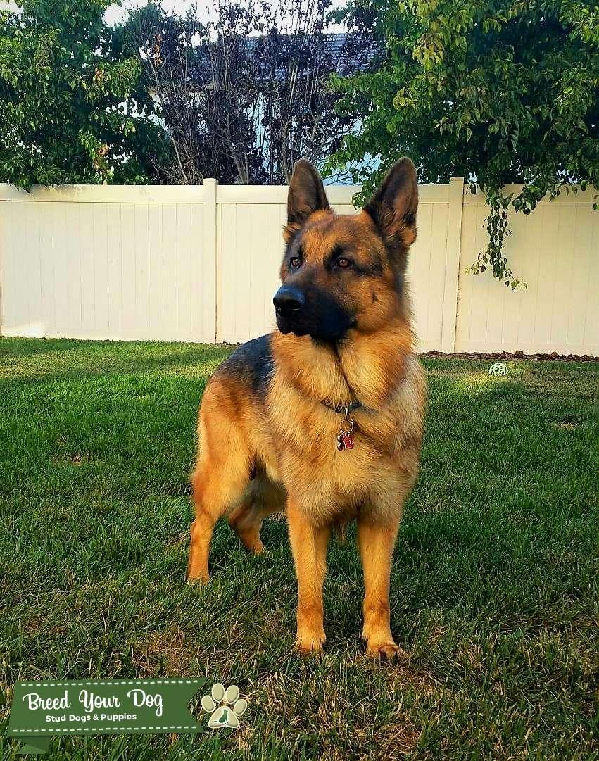 Pure bred Red and Black German Shepherd Dog Listing Image Big