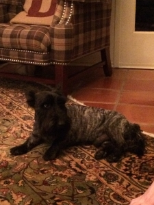 AKC Registered Scottish Terrier Listing Image