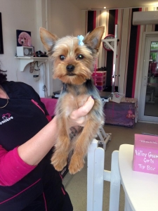 Tea Cup Yorkie Featured Image