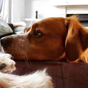Young, Copper and White, Patouche Brittany Spaniel Listing Image
