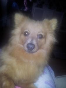 Orange Pomeranian Female Featured Image
