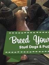 AKC Registered Pure Italian Greyhound Listing Image Big