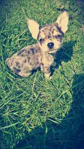 Blue merle chihuahua for STUD Listing Image