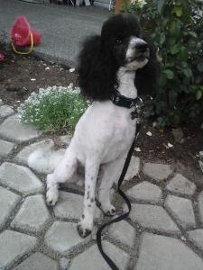 AKC registered moyen poodle for stud Listing Image