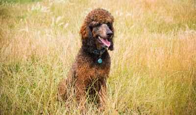 Stud Dog Red Sable Phantom Standard Poodle Stud Dog