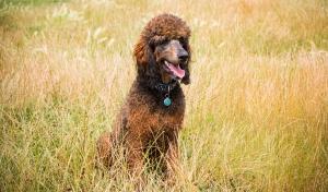 Red Sable Phantom Standard Poodle Stud Dog Listing Image