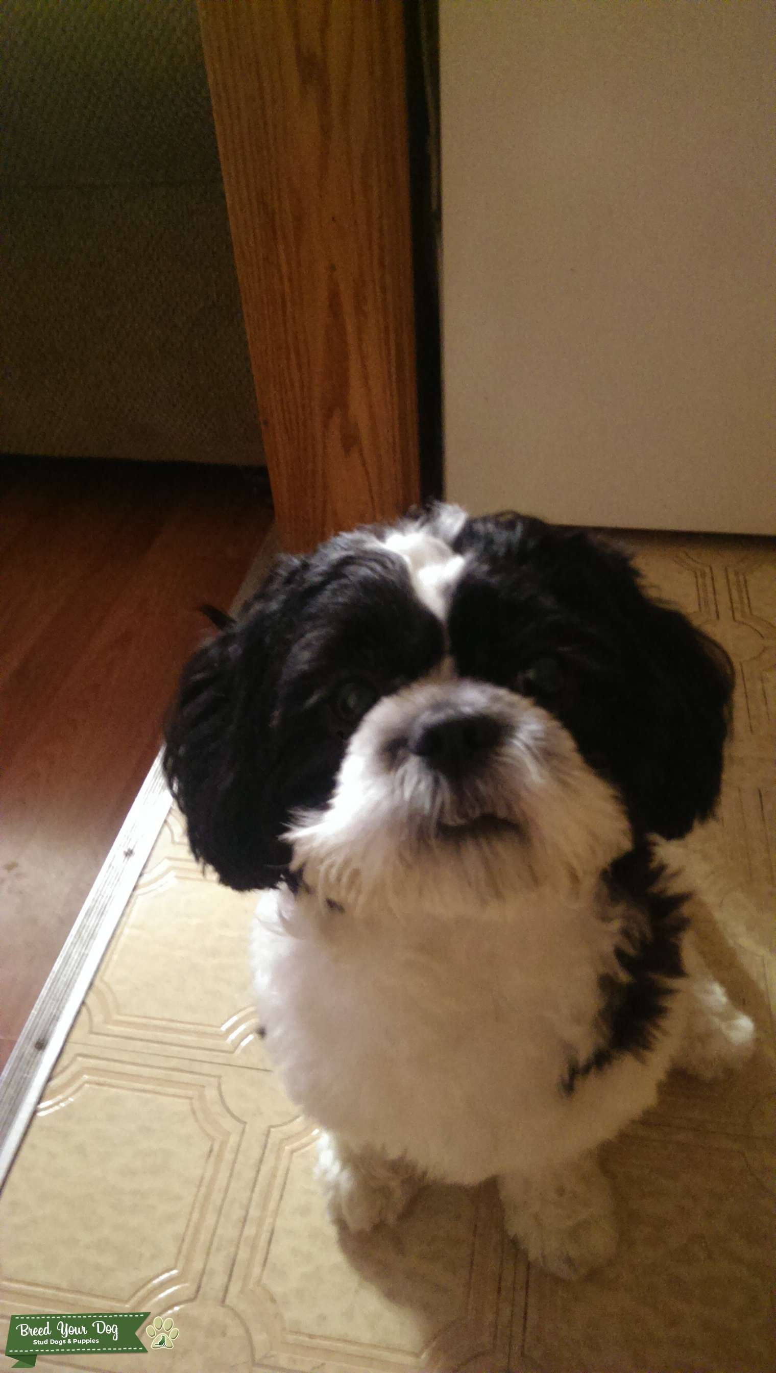 Stud Dog - Black and white Shih Tzu - Breed Your Dog