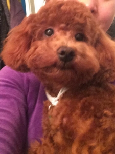Red Mini Poodle (8 lbs) Listing Image