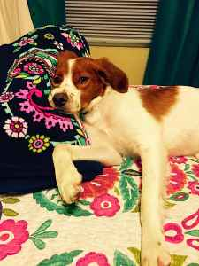 Brittany Spaniel Listing Image