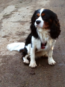 Tricolour King Charles Cavalier spaniel Featured Image