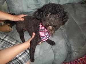 Black Toy Poodle Listing Image