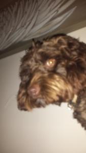 springer poodle  Listing Image