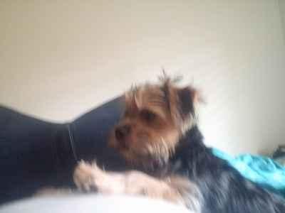 Norfolk terrier stud Listing Image