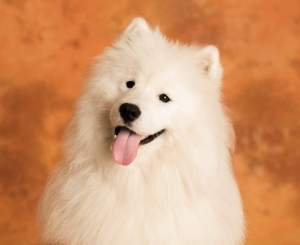 STUD ONLY... Samoyed KC registered Listing Image