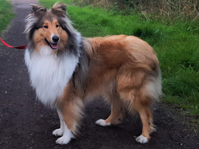 Proven Kc reg rough collie available at stud Listing Image