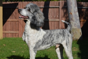 Standard Poodle Gray and white with black markings Listing Image