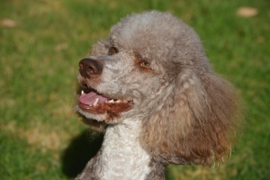 Standard Poodle Brown and White Listing Image
