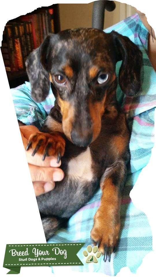 Stud Dog - Blue Eye Dapple Miniature Dachshund Stud - Breed Your Dog