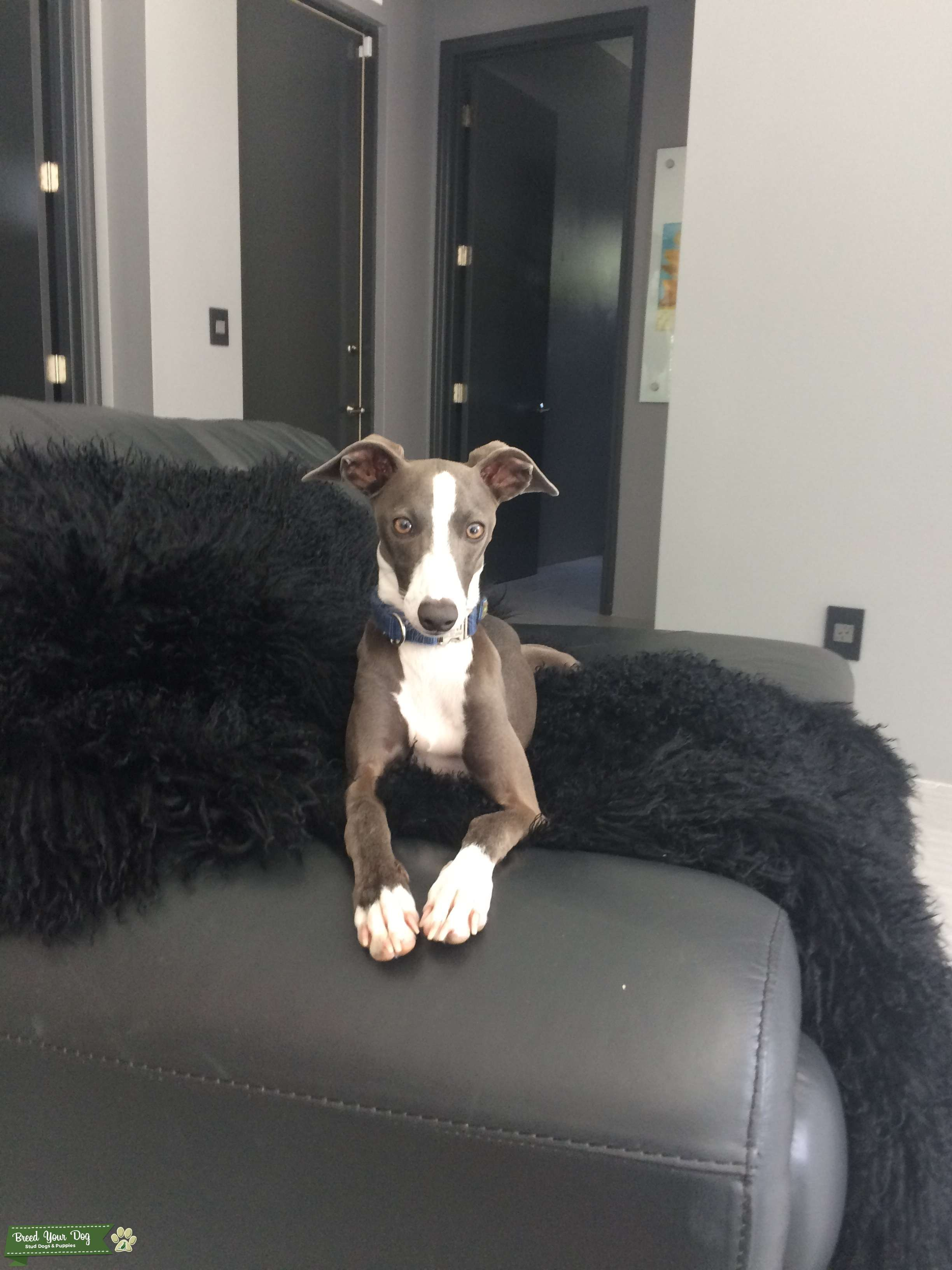 Italian Greyhound for Stud Listing Image Big