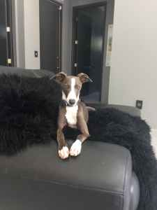 Italian Greyhound for Stud Listing Image