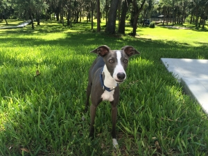 Italian Greyhound for Stud Listing Image Thumbnail