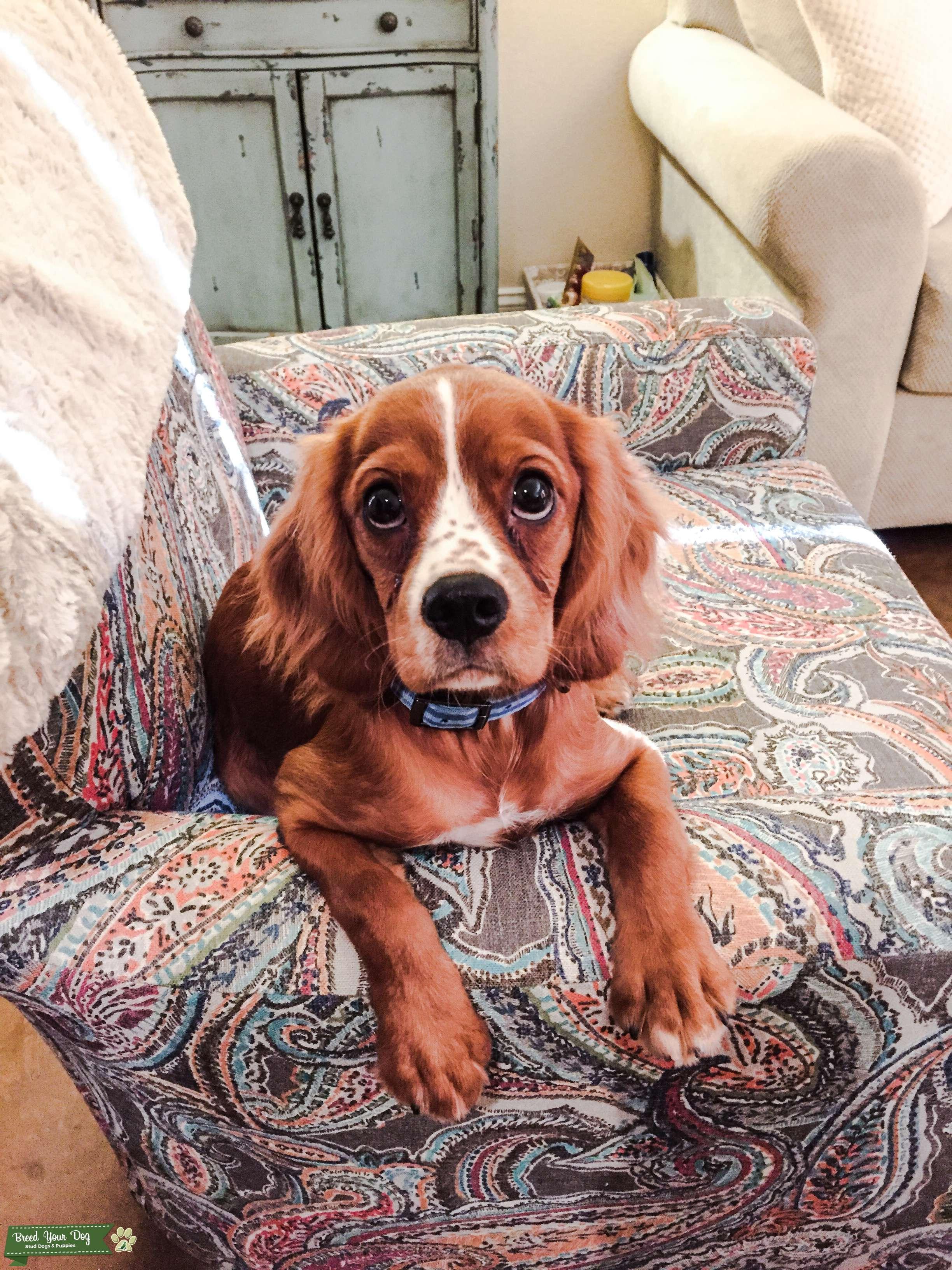 Ruby Cavalier King Charles Spaniel Listing Image Big