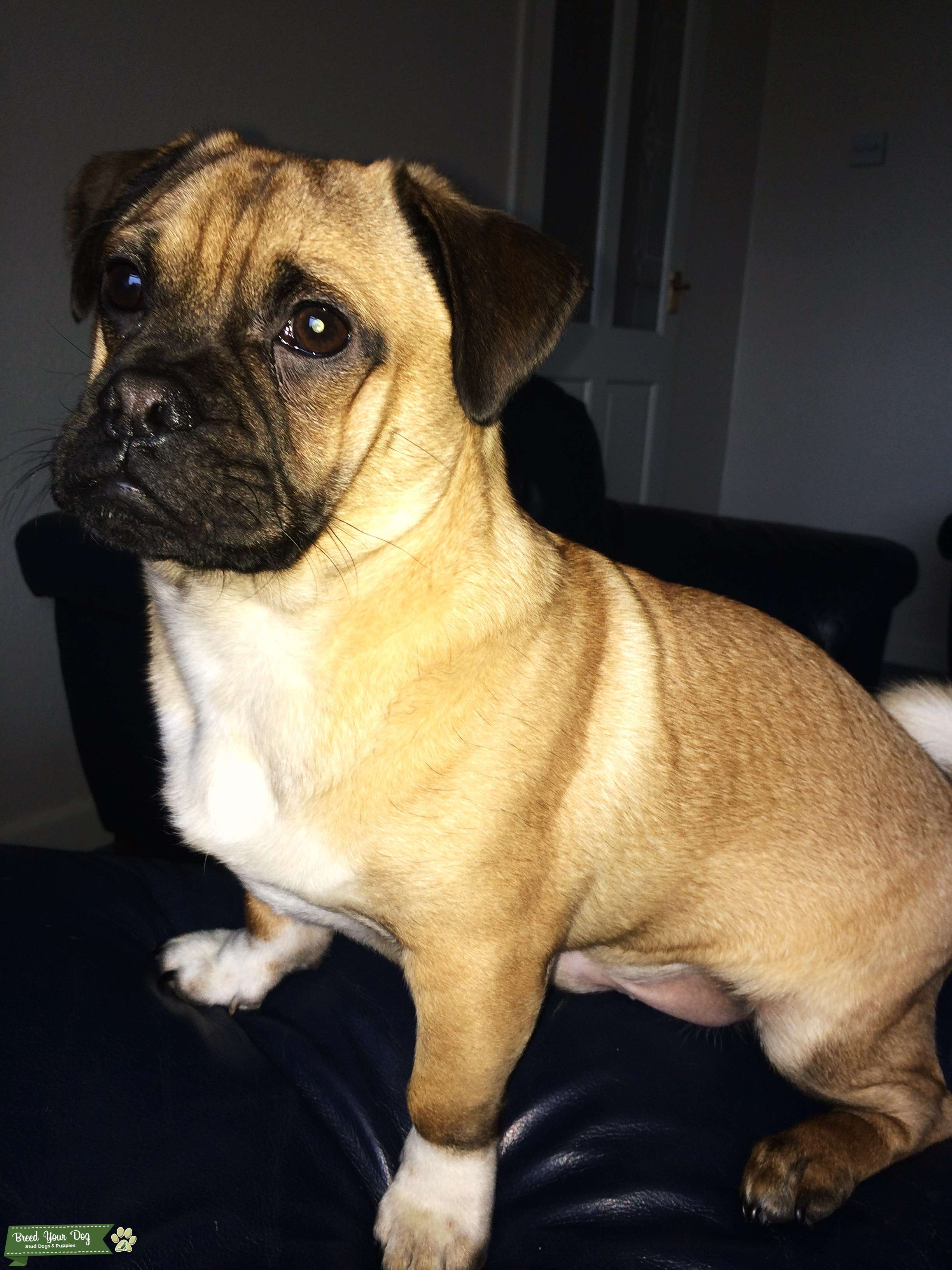 Frug Dog For Sale