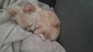 Quad Color Full Chihuahua Listing Image