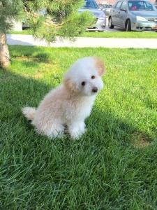 Toy Poodle needs a Stud Listing Image