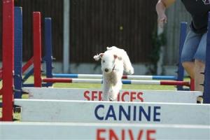 Bedlington Terrier Listing Image