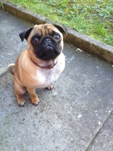 Pugs Featured Image