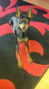 Miniature Pinscher For Stud Listing Image