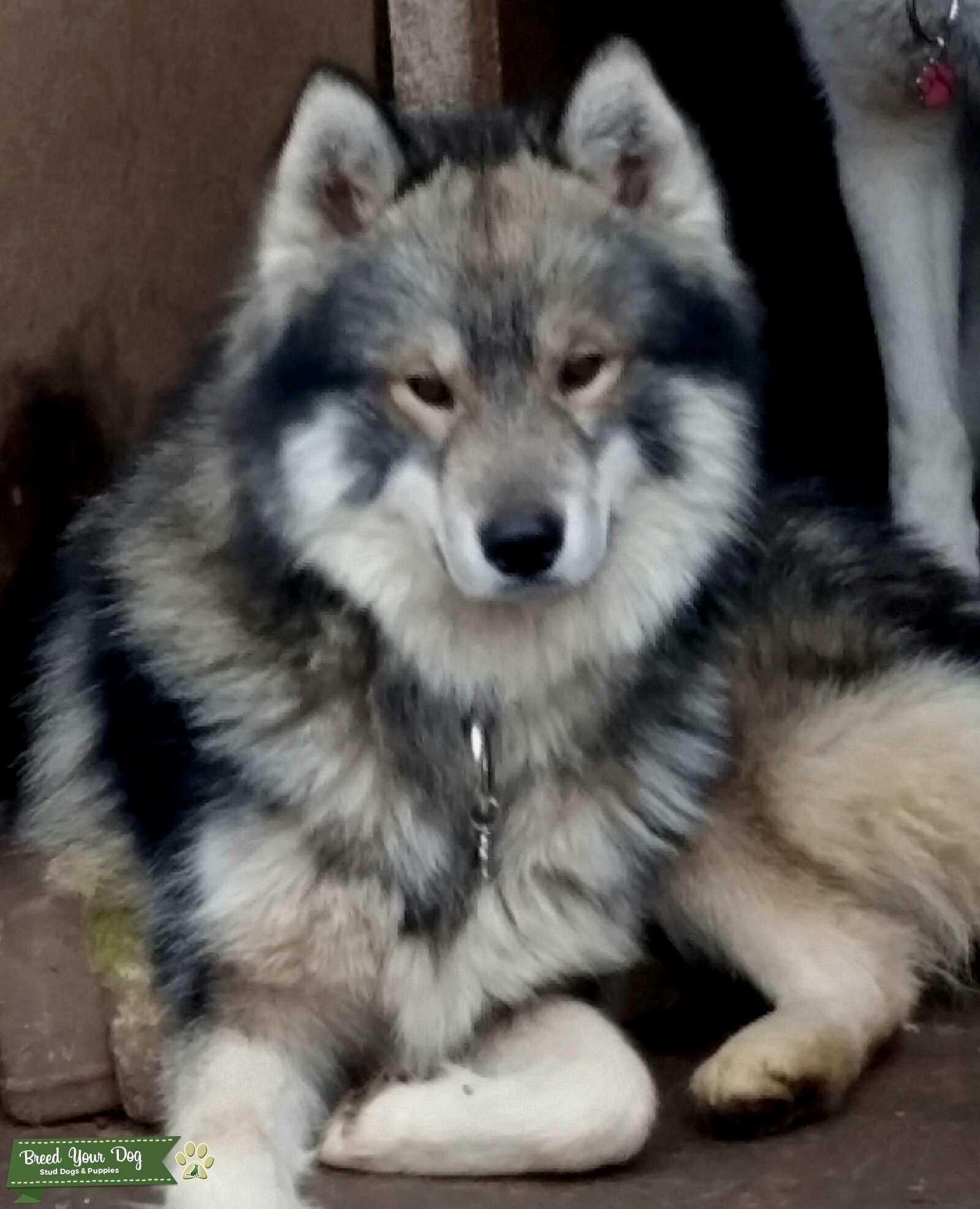 Stud Dog Long Coat Agouti Husky Stud Breed Your Dog