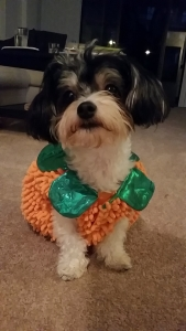 Need Male Havanese For my Female Listing Image
