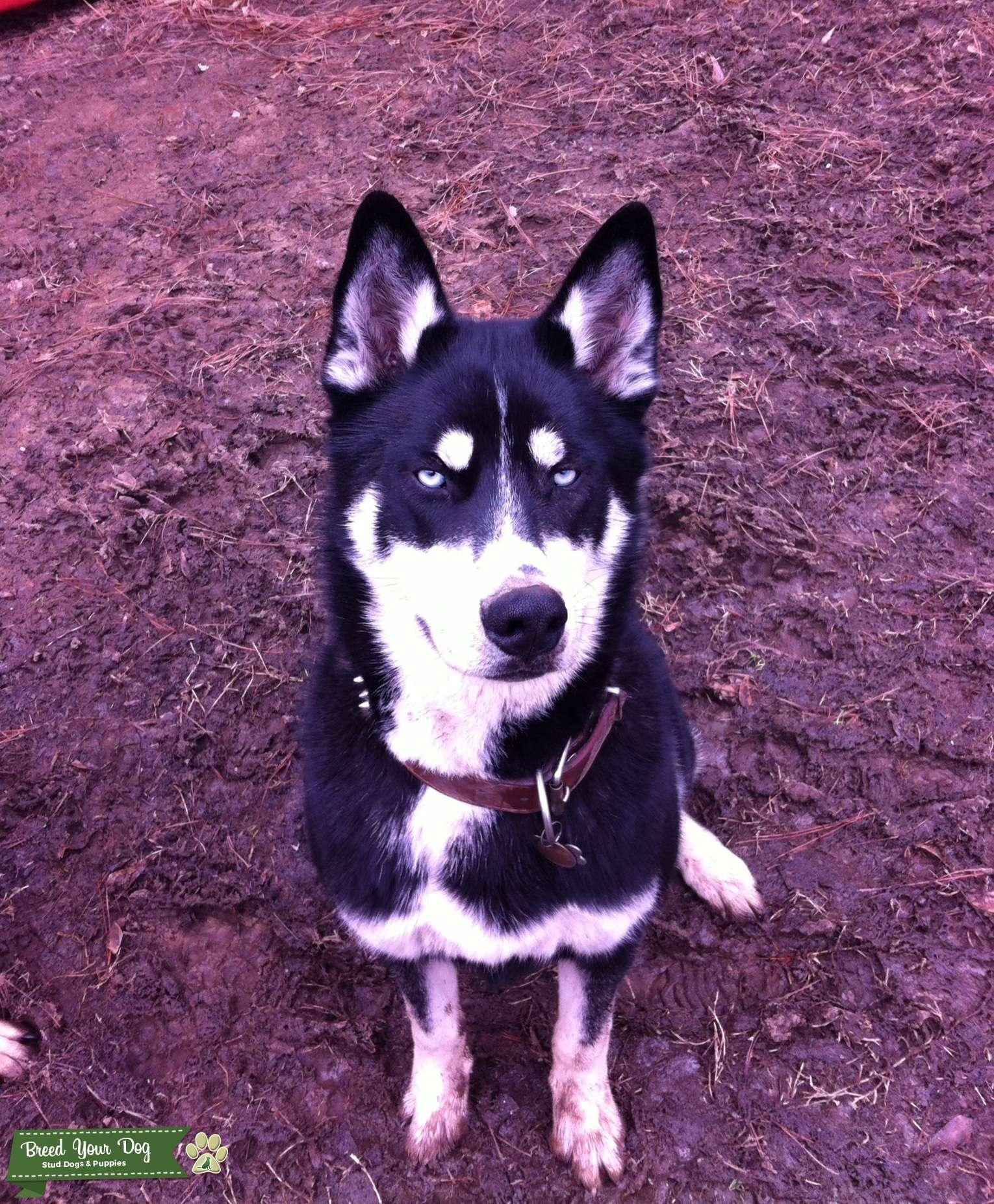 Stud Dog Beautiful Male Siberian Husky Breed Your Dog
