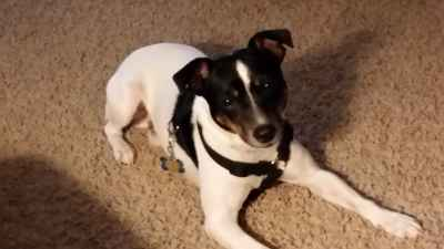Toy fox terrier  Listing Image