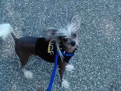 chineese crested  male 2 1/2 years old very happy ,loving , energetic  Listing Image