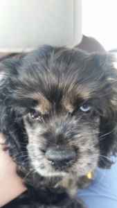 Seeking Pre Opportunities for Blue Merle Cocker Spaniel Listing Image