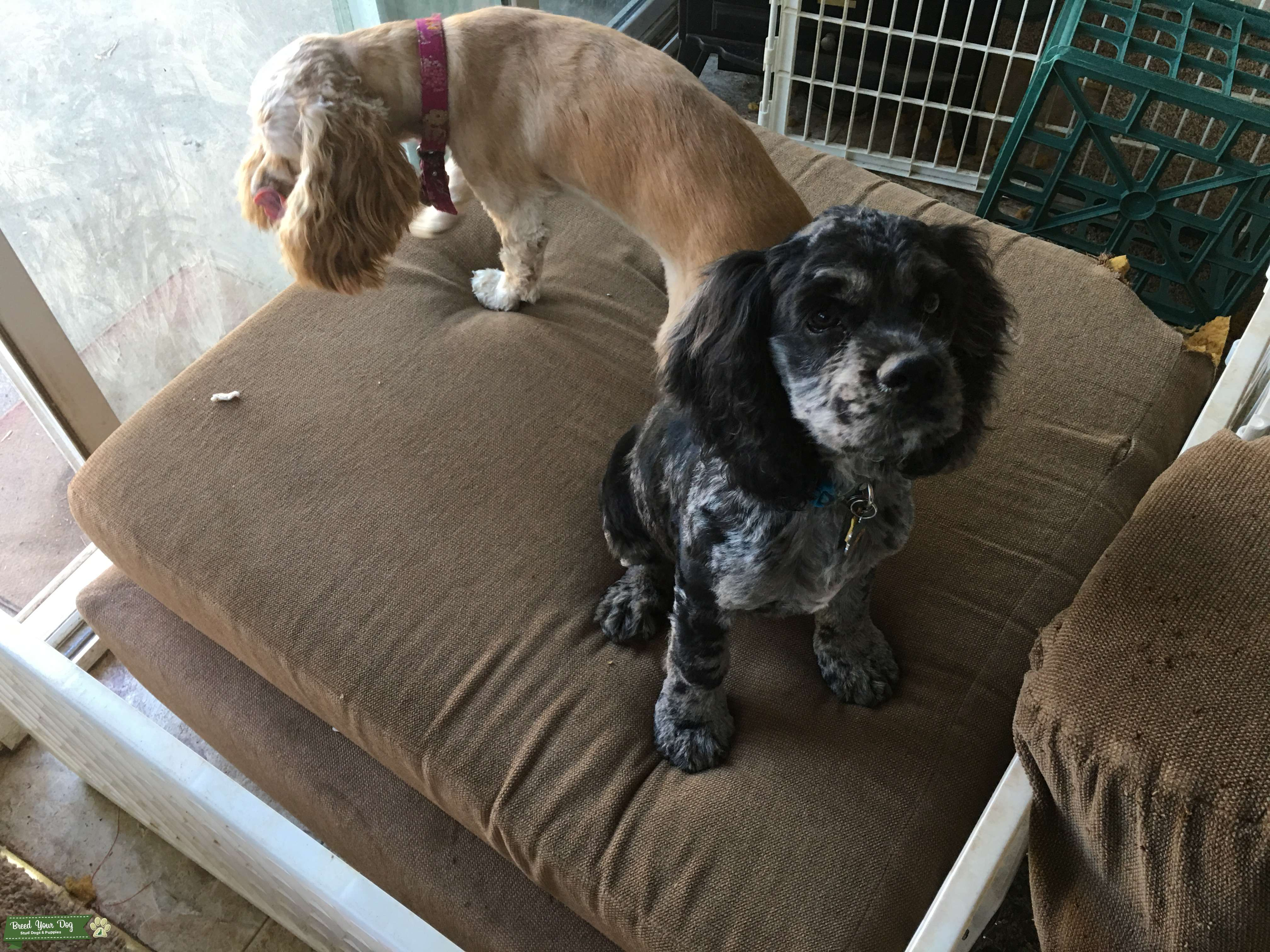 Seeking Pre Opportunities for Blue Merle Cocker Spaniel Listing Image Big